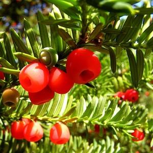 european yew taxus baccata pharmeko group